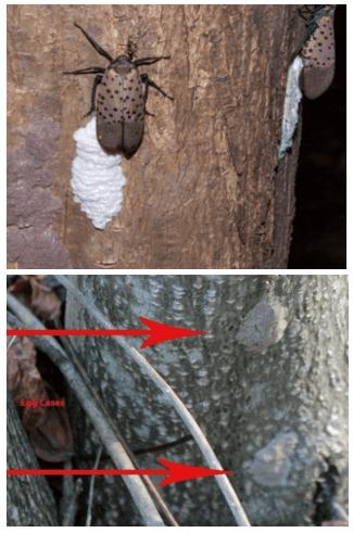 Chinese Lantern Fly Treatment